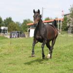 Pferd_walmorel_g05