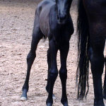 Pferd_walmorel_g07